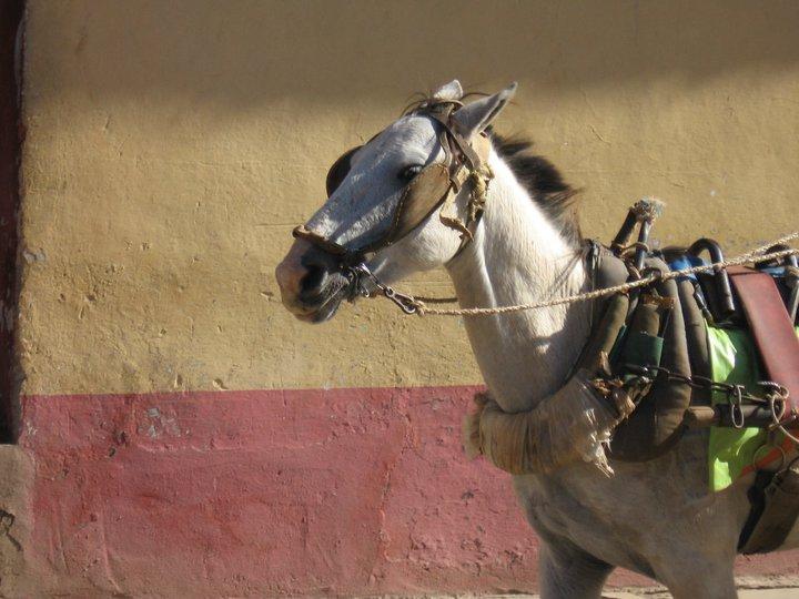 Hevoseläin Kuubassa 2010